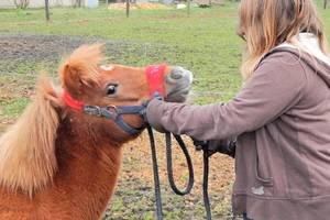 Auf dem Bild sieht man, dass eine Tierpflegerin dem Fohlen ein Halfter anlegt.